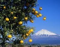 富士市中之郷のミカンと富士山