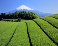 富士市岩本の茶畑と緑樹の富士山