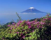 富士河口湖町三ツ峠のツツジと雲海の富士山