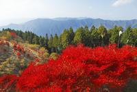 高野龍神スカイラインの紅葉 11076000220| 写真素材・ストックフォト・画像・イラスト素材|アマナイメージズ