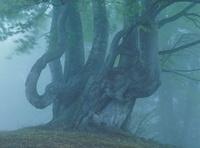 松之山大厳寺高原のブナ新緑