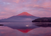 山中湖から白鳥と赤富士 11076000273| 写真素材・ストックフォト・画像・イラスト素材|アマナイメージズ