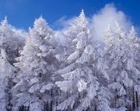 塩尻市高ボッチ高原の樹氷 11076000339| 写真素材・ストックフォト・画像・イラスト素材|アマナイメージズ