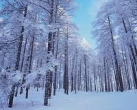 塩尻市高ボッチ高原の樹氷 11076000340| 写真素材・ストックフォト・画像・イラスト素材|アマナイメージズ