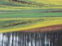 沼に映るナノハナ