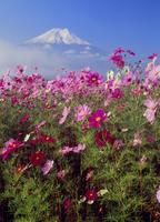 忍野村内野のコスモスと富士山