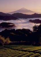 清水吉原の茶畑と雲海の富士山