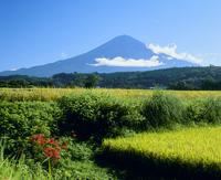 柚野の稲田とヒガンバナの富士山