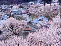 あんずの里の杏の花と集落