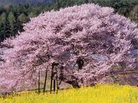 黒部のエドヒガン桜と菜の花 11076000613| 写真素材・ストックフォト・画像・イラスト素材|アマナイメージズ
