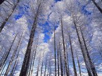 高ボッチ高原の唐松林の霧氷 11076000688| 写真素材・ストックフォト・画像・イラスト素材|アマナイメージズ