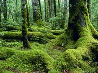 麦草峠の苔むす原生林