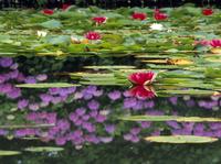 三郷地区 室山池のスイレンと水面に映るアジサイ 11076000755| 写真素材・ストックフォト・画像・イラスト素材|アマナイメージズ