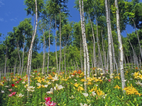 富士見高原ゆりの里の白樺林に咲くユリの花
