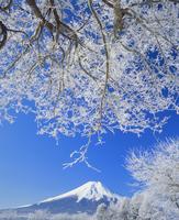 忍草の霧氷と富士山 11076000785| 写真素材・ストックフォト・画像・イラスト素材|アマナイメージズ