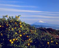 日本平のミカン畑と富士山 11076000790| 写真素材・ストックフォト・画像・イラスト素材|アマナイメージズ