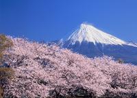 雁堤のサクラと富士山