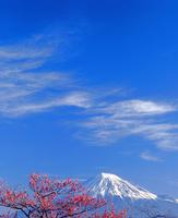 岩本山公園のウメと富士山