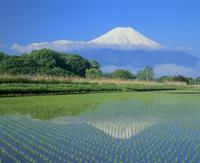 内野の水田と富士山