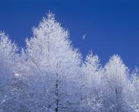 高ボッチ高原の霧氷の唐松と月 11076000824| 写真素材・ストックフォト・画像・イラスト素材|アマナイメージズ