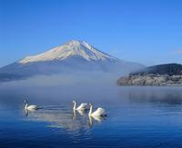 山中湖の白鳥と富士山 11076000836| 写真素材・ストックフォト・画像・イラスト素材|アマナイメージズ