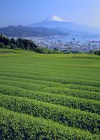 日本平の茶畑より清水港と富士山