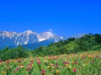 白馬岩岳ゆり園 ユリと白馬三山