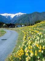 スイセン咲く道と中央アルプス・宝剣岳