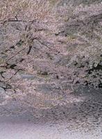 弘前公園 外堀 花筏とサクラ