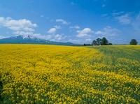 ナノハナ畑と岩木山