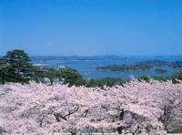 松島湾とサクラ
