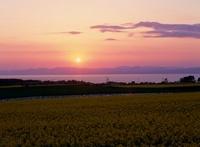 ナノハナ畑と陸奥湾,津軽半島と夕日を望む