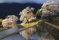 三多気の桜と水田