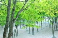 鍋倉高原 ブナ林の新緑