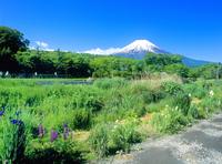 忍草の新緑と富士山