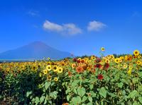 花の都公園に咲くヒマワリと富士山