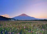 花の都公園に咲くコスモスと富士山