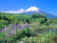 忍草のルピナスと富士山 11076002030| 写真素材・ストックフォト・画像・イラスト素材|アマナイメージズ