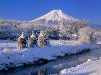忍草の雪景色と富士山 11076002039| 写真素材・ストックフォト・画像・イラスト素材|アマナイメージズ