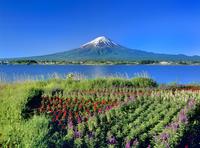 サルビア咲く河口湖と富士山