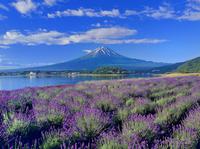 ラベンダー咲く河口湖と富士山