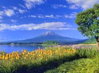 トリトマ咲く河口湖と富士山