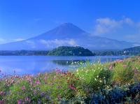 コスモス咲く河口湖と富士山