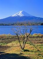河口湖の柿の木と富士山 11076002104| 写真素材・ストックフォト・画像・イラスト素材|アマナイメージズ
