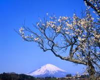 竹之下のウメと富士山