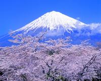 大石寺よりサクラと富士山 11076002168| 写真素材・ストックフォト・画像・イラスト素材|アマナイメージズ