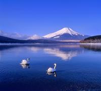 山中湖の白鳥と富士山 11076002176| 写真素材・ストックフォト・画像・イラスト素材|アマナイメージズ