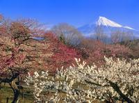 岩本山のウメと富士山