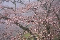 吉野山のヤマザクラ 11076002388  写真素材・ストックフォト・画像・イラスト素材 アマナイメージズ