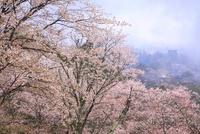 吉野山のヤマザクラ 11076002389  写真素材・ストックフォト・画像・イラスト素材 アマナイメージズ